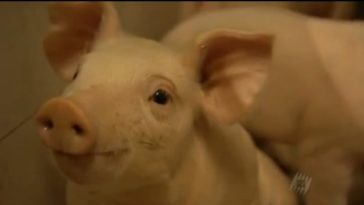 Docu: Monsanto – patent for a pig