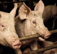 Ongehoord: misstanden in de Nederlandse varkensindustrie naar buiten gebracht