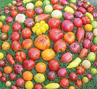 2012-semences_kokopelli-tomaten