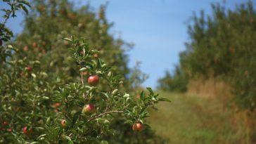 Gentechveldproeven met aardappels en appels in 2012