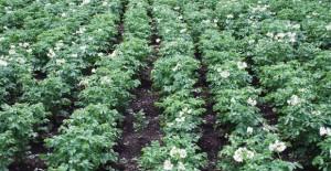 aardappels-300