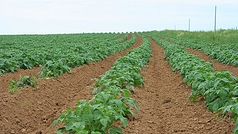 Will potato frying companies remain GMO free? And is there hope for DuRPh?