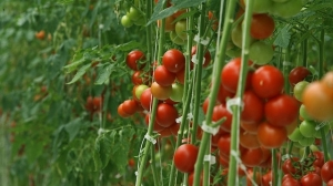 tomatogreenhouseCROP